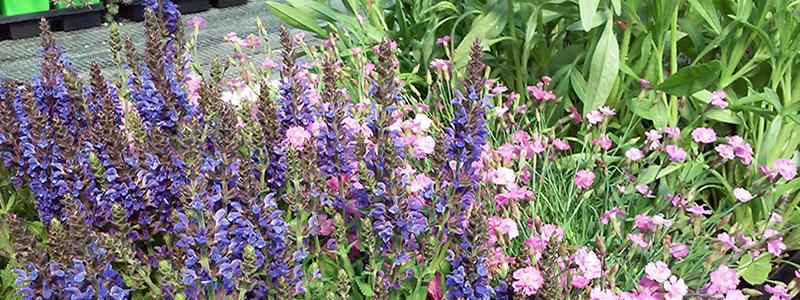 Saldian Plants Being Displayed At A Garden Center Photo - Feeney's