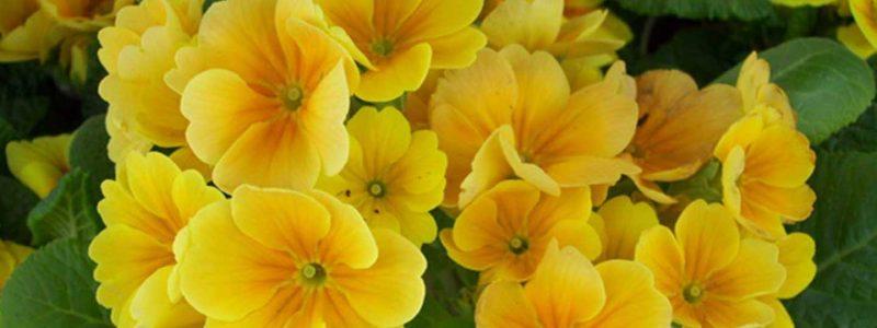 Springtime - Primrose